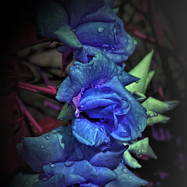 Blue Roses by Darrell Tenpenny - Digital Art Things ( rose, digital art, garden, flower )