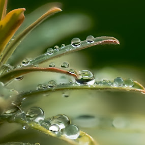 Rain drops on plant by Kathy Dee - Nature Up Close Leaves & Grasses ( water, patterns, green, backgrounds, leaf, crystal, leaves, amazing, clear, winter, nature, artistic, drops, rain,  )