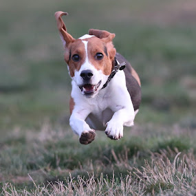 Flying Beagle by Peter Marzano - Animals - Dogs Playing ( flying, dogs, action, beagle, chicago )