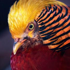 by Indrawaty Arifin - Animals Birds ( red, chicken, bird, yellow )