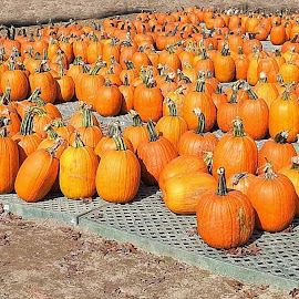 Pumpkin time by Mary Gallo - Food & Drink Fruits & Vegetables ( pumpkins, nature, pumpkins from the field )