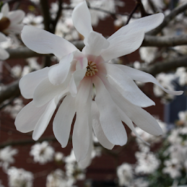 Magnolia by Christine Meeske - Flowers Tree Blossoms ( blooms, trees, spring bloom, flowers, magnolia )