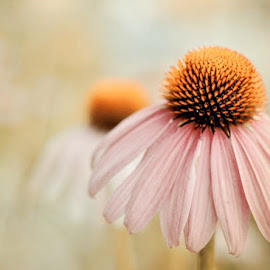 Misty Morning by Judy Laliberte - Novices Only Flowers & Plants ( orange, cone flower, soft focus, pink, flower )