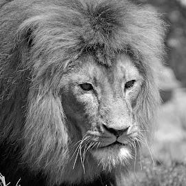Malelion by Marius Birkeland - Black & White Animals ( predator, lion, cat, black and white, mane, animal )