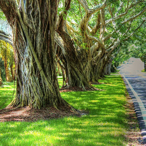 Banyon lined roadway by Peg Elmore - Nature Up Close Trees & Bushes ( trees )