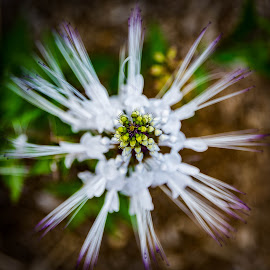 Cats Whiskers Flower by Sarah Sullivan - Novices Only Macro