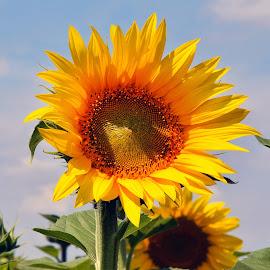 nice sunflower by LADOCKi Elvira - Flowers Flowers in the Wild