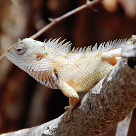 Lizard by Prabasha Rasaputra - Novices Only Wildlife (  )