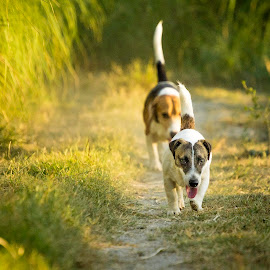 Follow Me by Ynon Francisco - Animals - Dogs Running ( jack russell, dogs, family, bestfriends, beagle )