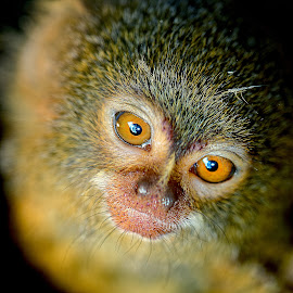 Two eyes by Gérard CHATENET - Animals Other Mammals (  )