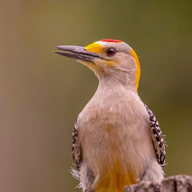Golden-fronted Woodpecker by Steve Munford - Animals Birds ( nature, woodpecker, golden-fronted, birds, animal )