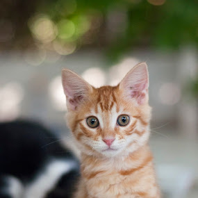 by Bariscan OZKALAY - Animals - Cats Portraits