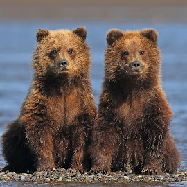 Twins ! by Anthony Goldman - Animals Other Mammals ( bear, wild, nature, lake clark, wildlife, cubs, brown, twins, mammal )