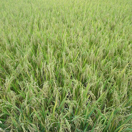 RICE by Debananda Santra - Nature Up Close Other plants
