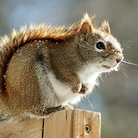 Cold Day by Jeff Galbraith - Animals Other Mammals ( winter, red, cold, furry, cute, rodent, squirrel )