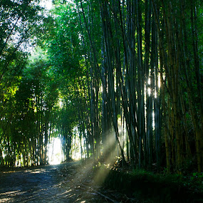 Bamboo forest by Cristobal Garciaferro Rubio - Landscapes Forests ( bamboo, sunrays, forest, sun, rays )