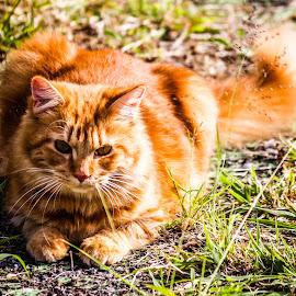 by Jan van der Schyff - Animals - Cats Portraits