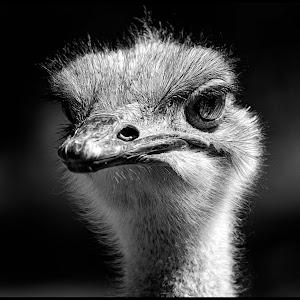 Ostrich-6.jpg