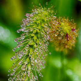 by Jose Edward Corral - Nature Up Close Leaves & Grasses ( grass, droplets )