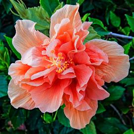 Hibiscus by Dee Haun - Flowers Single Flower ( flowers, pink, 180509f2880ce2, hibiscus, single flower, salmon, yellow )