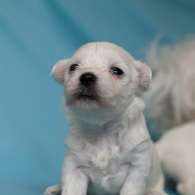 Medo by Mario Novak - Animals - Dogs Puppies