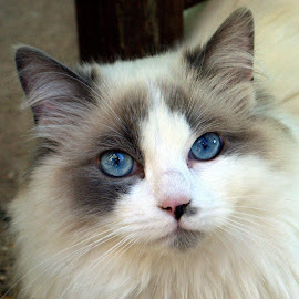 Blue  by Jane Croft - Animals - Cats Portraits