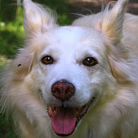Sox (and fly!) by Chrissie Barrow - Animals - Dogs Portraits ( border collie cross, old, tongue, fly, long haired, pet, white, fur, ears, dog, nose, cream, portrait, eyes )