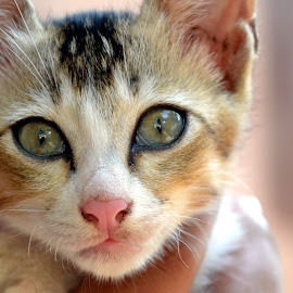 kittu by Manoj Fasiludeen - Animals - Cats Kittens ( cat, beautiful, adorable, kittens, cute )