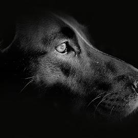 Concentration..... by Jacqueline Lancelotte - Animals - Dogs Portraits ( bordercollie, colliedog )