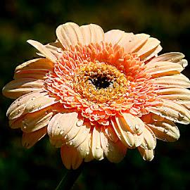 Gardena by Gérard CHATENET - Flowers Single Flower
