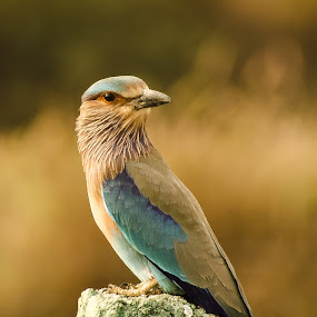 Indian Roller by Priyank Jha - Animals Birds ( bird, nikon d5100, nature, wildlife, indian roller )
