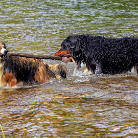 Did I Say I Needed Help? by Twin Wranglers Baker - Animals - Dogs Playing (  )