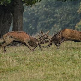 The clash by Garry Chisholm - Animals Other Mammals ( garry chisholm, red, nature, british wildlife, rutting, mammal, deer )