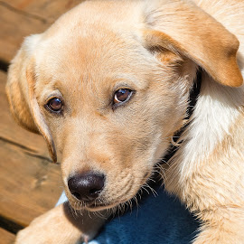 Fury by Dave Lipchen - Animals - Dogs Portraits ( yellow lab )