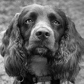 Serious Beau by Chrissie Barrow - Black & White Animals ( monochrome, black and white, cocker spaniel, pet, fur, ears, grey, dog, mono, nose, portrait, eyes, animal )