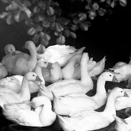 by Lizzy MacGregor Crongeyer - Novices Only Wildlife ( water, monochrome )