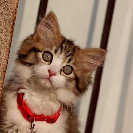 kitten by Lize Hill - Animals - Cats Kittens