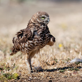 Burrowing owl shaking by Alex Sam - Animals Birds ( bird, burrowing owl )