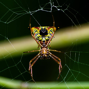 Colourful Jeweled Spider by Dave Martin - Animals Insects & Spiders ( spider on web, jeweled spider, spider,  )