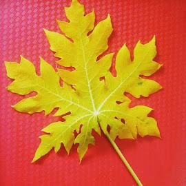 Papaya Leaves  by Maricel Vismonte - Nature Up Close Gardens & Produce