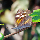 American snout nose butterfly