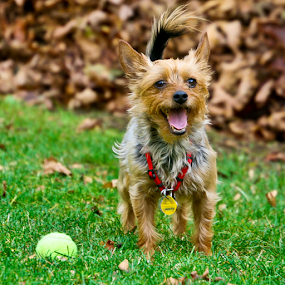 Maybe I don't want to bring it back? by Briand Sanderson - Animals - Dogs Playing ( tags, canine, doggie, yorkshire terrier, yorkie, collar, dog, tennis ball, yorky, animal )
