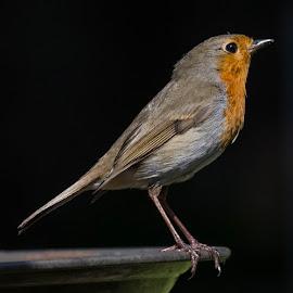 Mr Robin by Stuart Walker - Animals Birds (  )