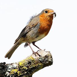 Le rouge gorge de Pontivy by Gérard CHATENET - Animals Birds