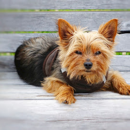 Peeved Pooch by Alfonso Bullock - Animals - Dogs Portraits ( portait, bench, dog )