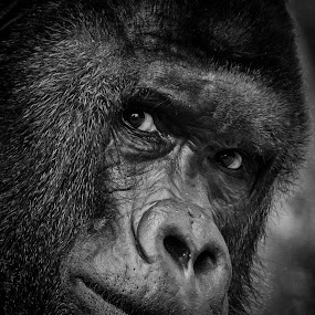 by Robert Grim - Animals Other Mammals ( zoo, black and white, czech republic, gorilla,  )