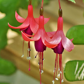 Fuchsia Trinity by Scot Gallion - Flowers Flower Gardens