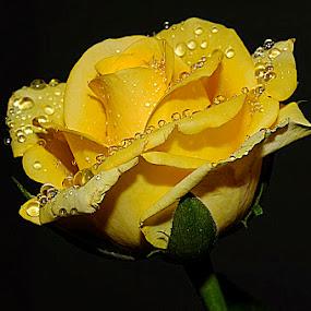 Yellow Rose by Nirmal Kumar - Nature Up Close Flowers - 2011-2013 (  )