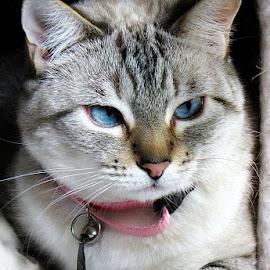 SuzieQ by Trish Hamme - Animals - Cats Portraits