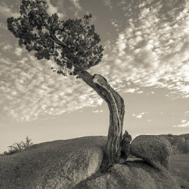 Lone Juniper by Dean Mayo - Landscapes Deserts